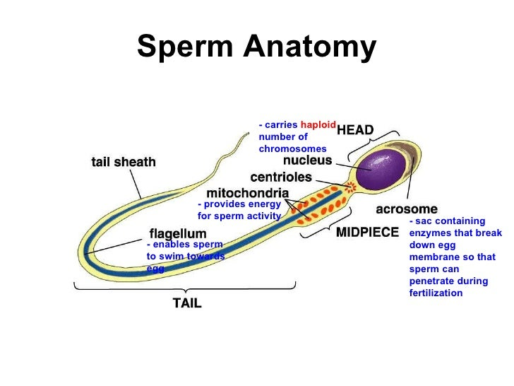 anatomy physiology sperm