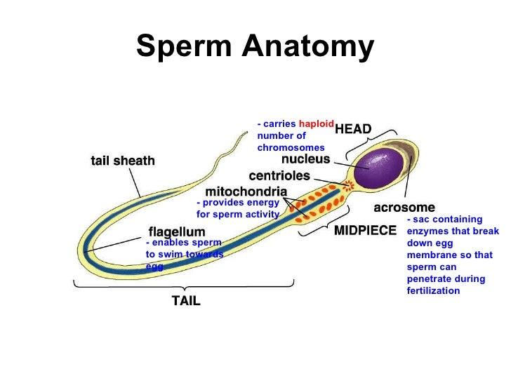 anatomy physiology sperm