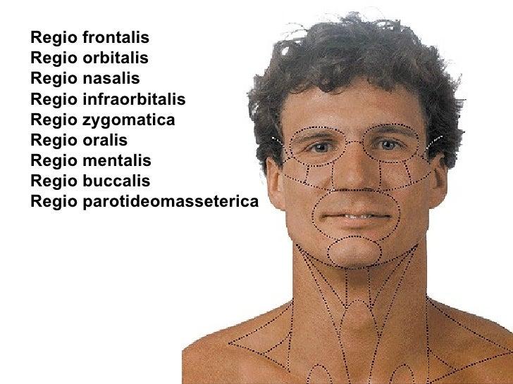 Zygomatic bone  Wikipedia