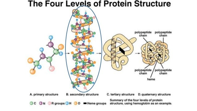 Alpha Helix And Beta Pleated Sheet AS-U1-2.5 Proteins