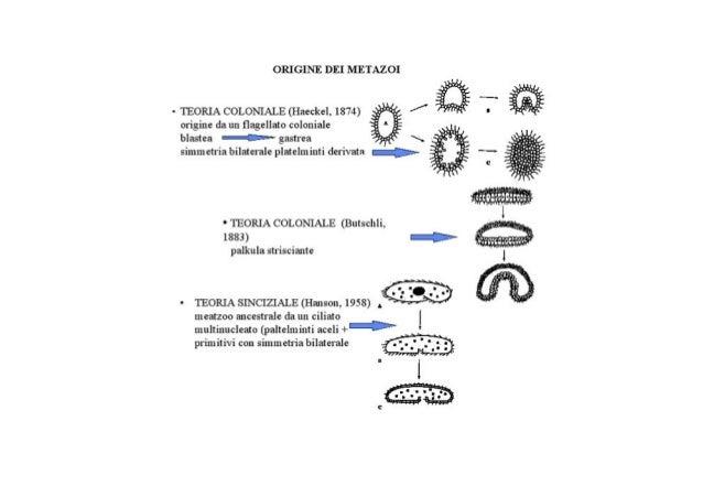 Prima di passare ai metazoiEsistono alcuni gruppi di incerta sede che sono a metà fraunicellulari e pluricellulari non pos...