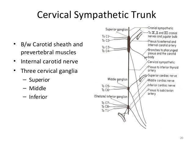 sympathetic nervous system function pdf
