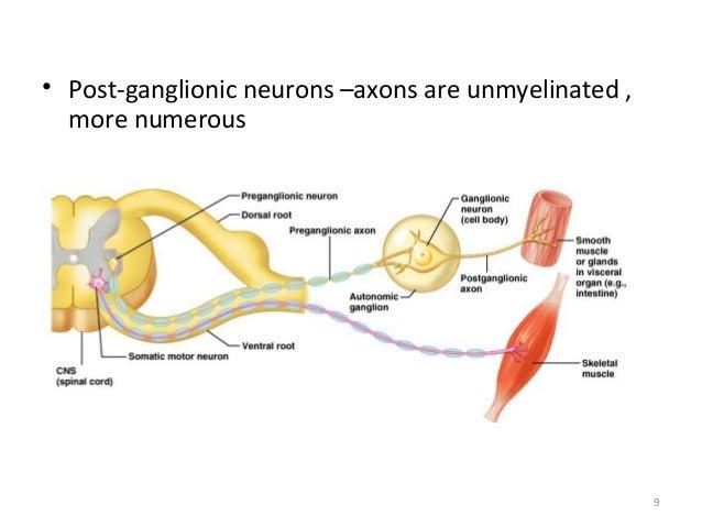 Autonomic vs somatic nervous system  Muscularskeletal