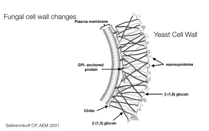 Yeast Cell Wall Structure Connecting ultrastruct...
