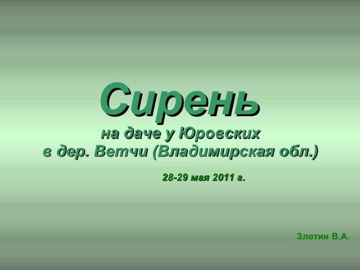 Сирень   на даче у Юровских в дер. Ветчи (Владимирская обл.) Злотин В.А. 28-29 мая 2011 г.