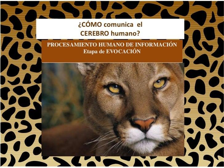 ¿CÓMO comunica el         CEREBRO humano?PROCESAMIENTO HUMANO DE INFORMACIÓN          Etapa de EVOCACIÓN