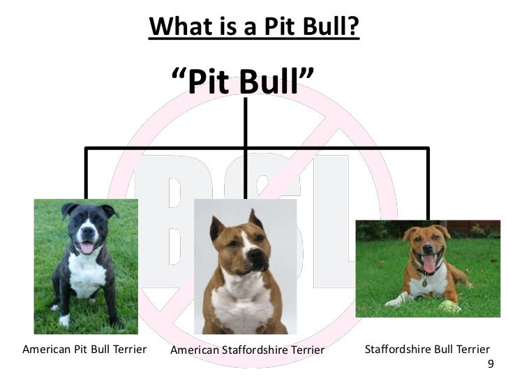 pixels, Difference Between Staffordshire Bull Terrier And Pitbull ...