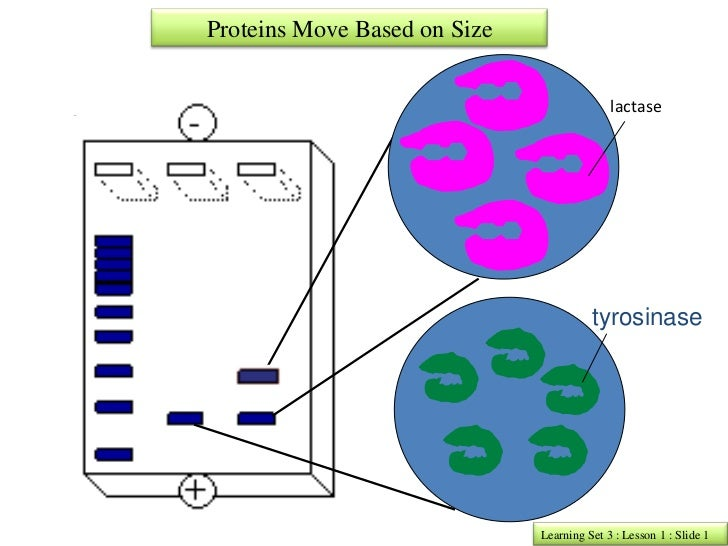Proteins Move Based on Size                                            lactase                                        tyro...
