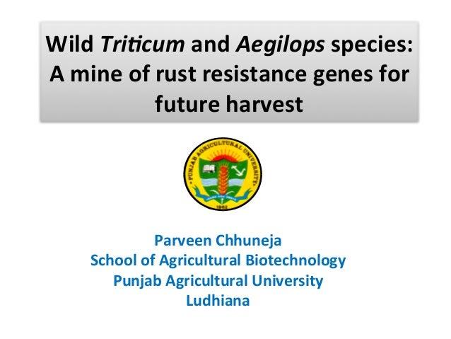 Wild Triticum and Aegilops Species: A Mine of Rust Resistance Genes for Future Harvest