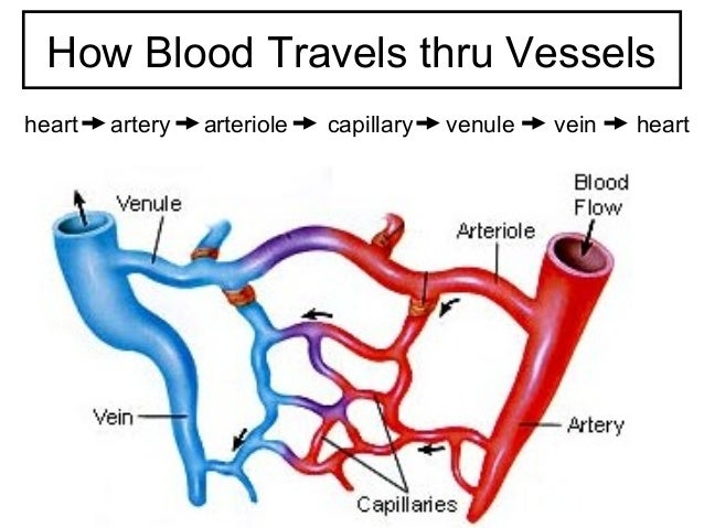 Veins Arteries Capillaries Capillary Venule Vein