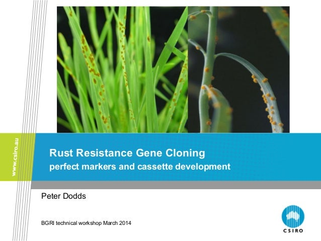 University of Minnesota Rust Resistance Gene Cloning perfect markers and cassette development Peter Dodds BGRI technical w...