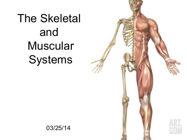 03/25/14 1 The Skeletal and Muscular Systems