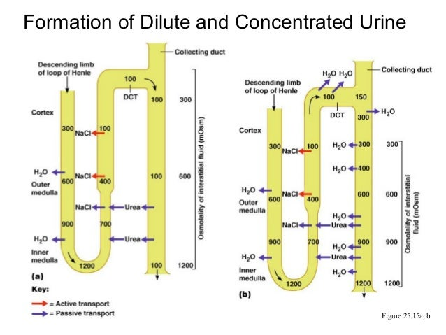 formation of urine 2 formation of urine in healthy nephron, neither protein nor rbcs filter into capsule in proximal tubule, most of nutrients and large amount of water reabsorbed back to.