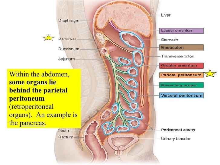 Peritoneum as well 5870961 besides 7950180 together with Anatomy Of Digestive Sys Stomachsi 2012 besides Peritoneal Cavity Diagram. on lesser omentum