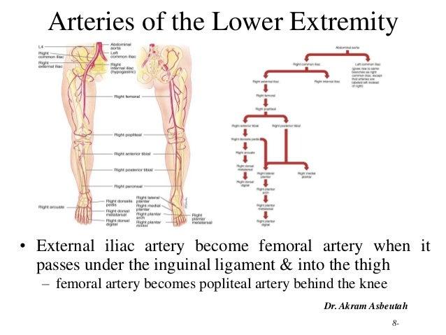 Lower limb arterial anatomy