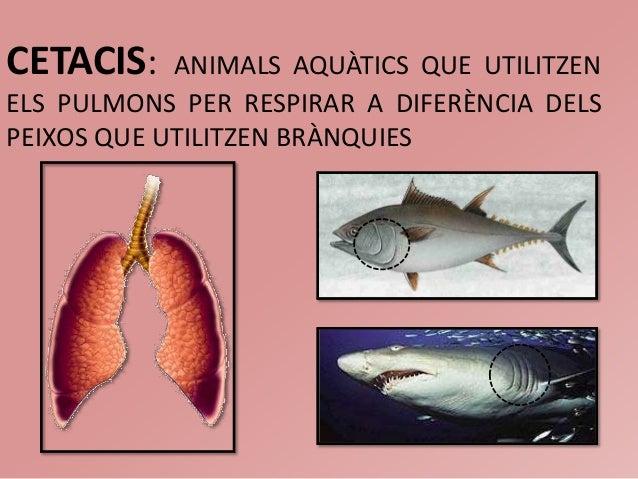 CETACIS: ANIMALS AQUÀTICS QUE UTILITZENELS PULMONS PER RESPIRAR A DIFERÈNCIA DELSPEIXOS QUE UTILITZEN BRÀNQUIES