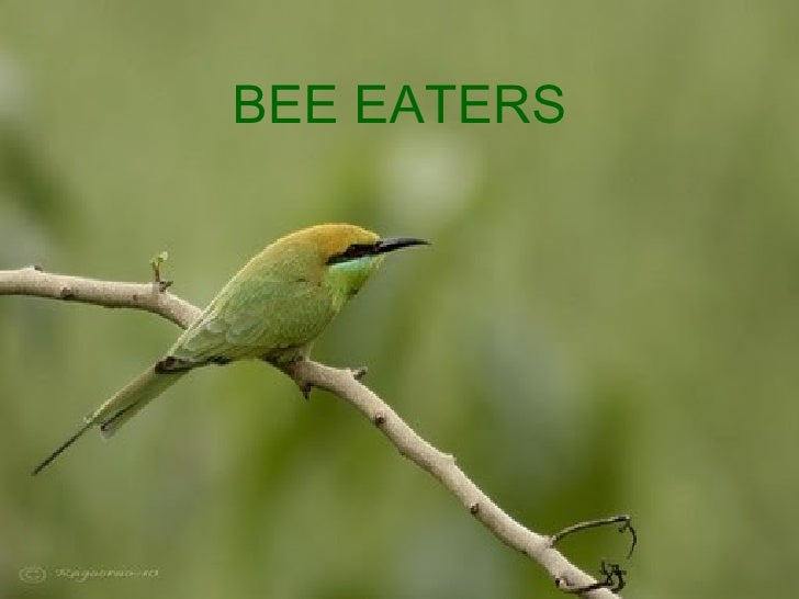 239-Bee-eaters