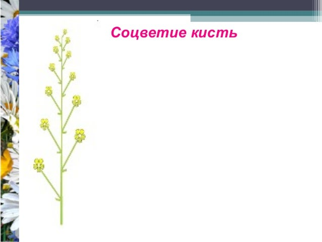 11. Соцветие