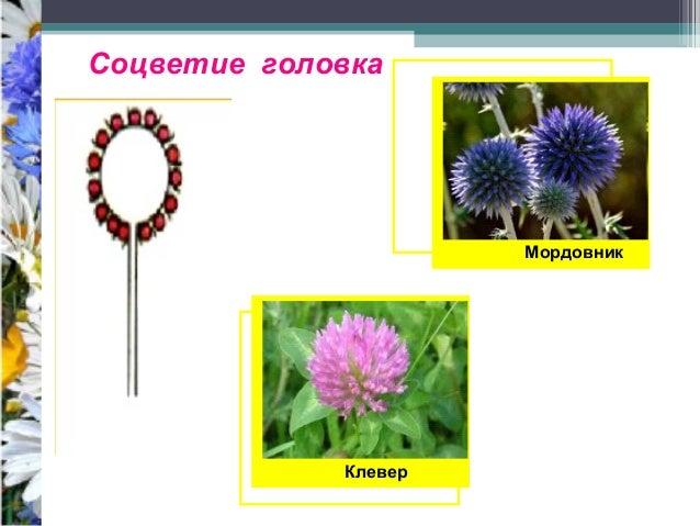 21. Соцветие головка
