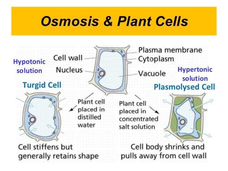 explain the relationship between plasmolysis and turgor pressure