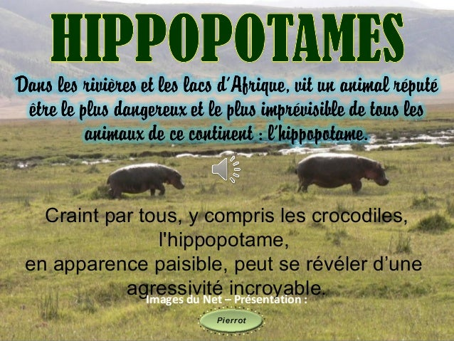 Craint par tous, y compris les crocodiles,                lhippopotame,en apparence paisible, peut se révéler d'une       ...