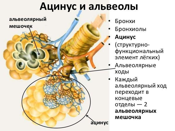 мешочка<br />ацинус<br /