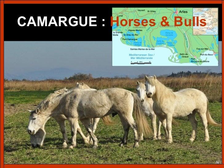 273 - Camargue – Horses & Bulls