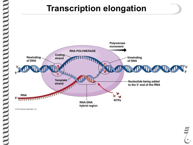 Prokaryotic transcription termination