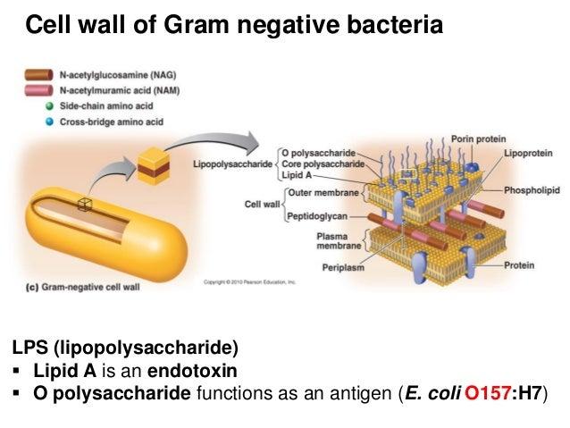 Gram negative bacteria LPS H Antigen Bacteria