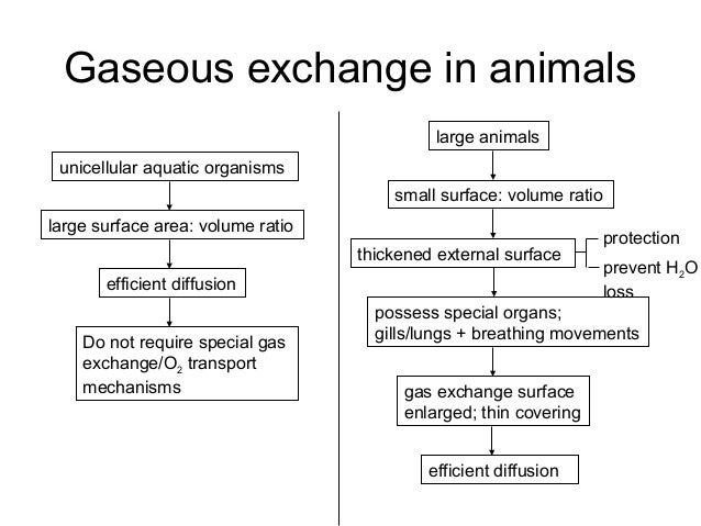 gaseous exchange surfaces Terrestrial vertebrates generally have lungs the surface area for gas exchange is correlated with metabolic rate endotherms, such as birds and mammals, have a high metabolic rate and a correspondingly high respiratory surface area.
