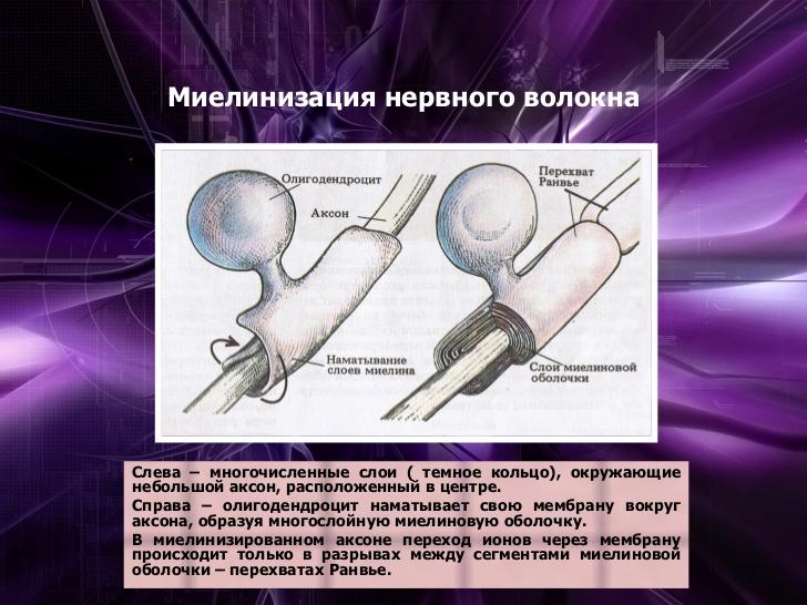 Олигодендроцит фото
