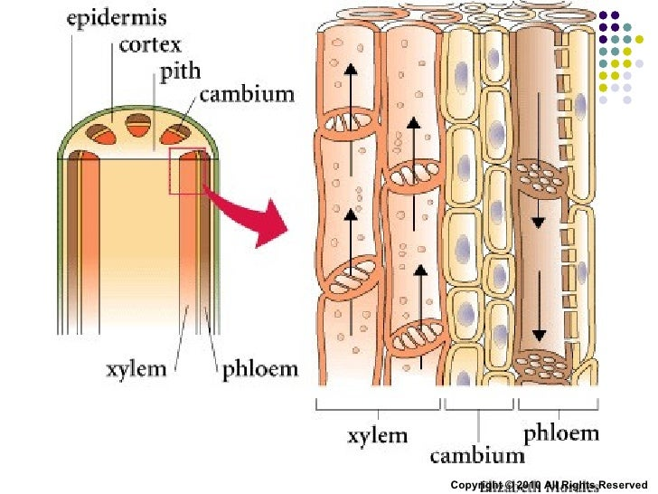 the transpiration process of materials in the xylem and phloem