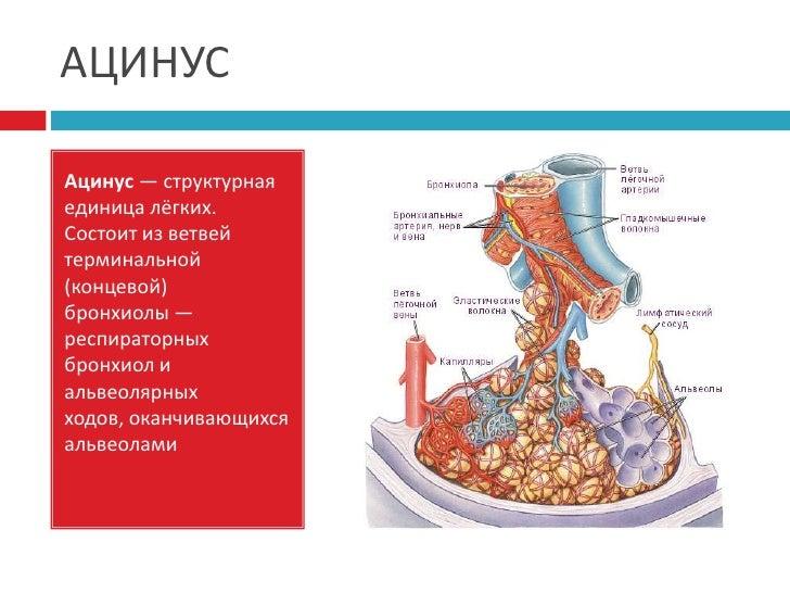 единица лёгких.