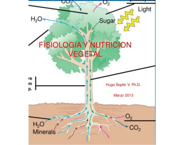 FISIOLOGIA Y NUTRICION VEGETAL Hugo Soplin V. Ph.D. Marzo 2013