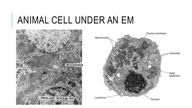 Animal Cell Under Microscope Labeled
