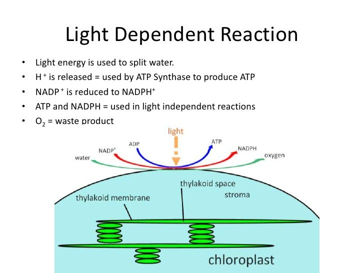 photosythesis light dependent reactions Light and dark reactions in photosynthesis written by tutor kathie z photosynthesis is the process by which green plants absorb light energy from the sun with the assistance of water and carbon dioxide, and transform it into chemical energy to make (synthesize) carbohydrate (specifically glucose) and oxygen.