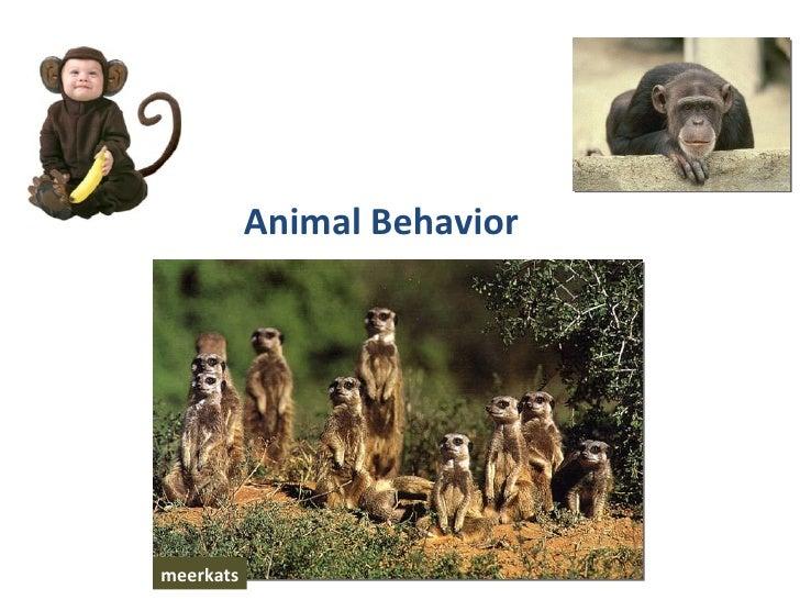Animal Behavior  meerkats