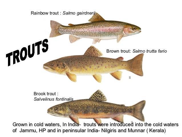 Rainbow trout : Salmo gairdnerii                                           Brown trout: Salmo trutta fario         Brook t...