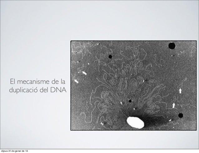 53. El mecanisme de la duplicació del DNA