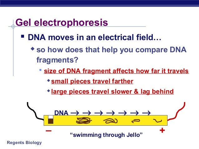 electrophoresis notes Transcript and presenter's notes an agarose gel is used to slow the movement of dna and  agarose gel electrophoresis - dna is cut up with restriction enzyme.