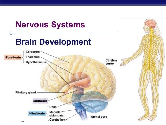 2007-2008AP BiologyNervous SystemsBrain Development