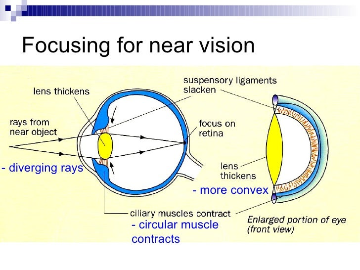 mechanism of vision Mechanism of vision the light rays in visible wavelength focused on the retina through the cornea and lens generate potentials (impulses) in rods and cones as mentioned earlier, the photosensitive compounds (photopigments) in the human eyes are composed of opsin (a protein) and retinal (an aldehyde of vitamin a.