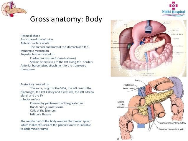 Body anatomy pancreas