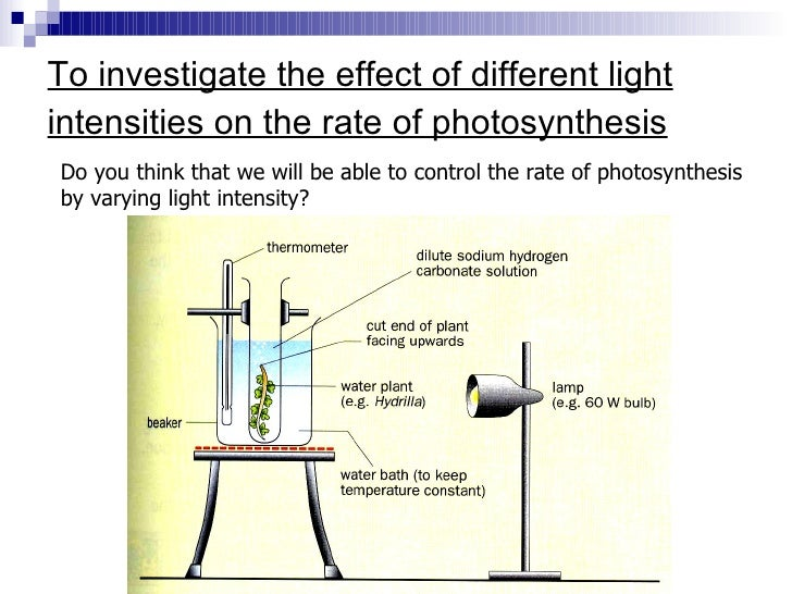 experiment on how the light intensity affects the rate of photosynthesis in a pondweed Varying photosynthesis rate in order to vary net photo-synthesis over a large range, sugar beet leaves were subjected to a wide variety of experimental conditions photosynthesis was measured under three light intensities: 2000, 3700, and 7200 ft-c preliminary studies showed that photosynthesis sat-urated at a light intensity of about.
