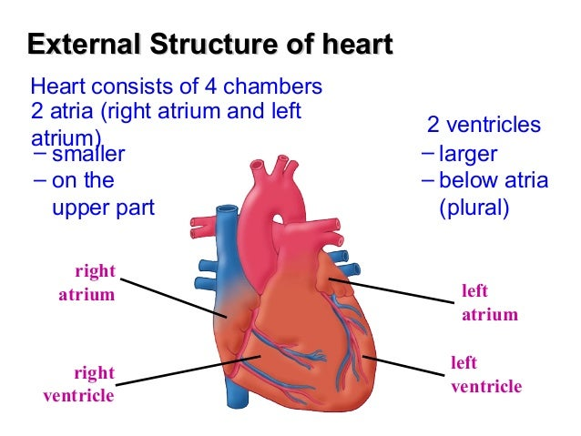 heart structure functions The cardiovascular system (structure and function)  functions of the heart  the cardiovascular system (structure and function).
