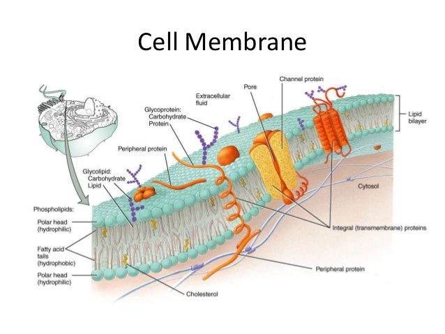 plasma membrane and its importance in Their theory of the fluid-mosaic model of membrane structure, although overly simplistic is important and is the plasma membrane acts as a partially-permeable.