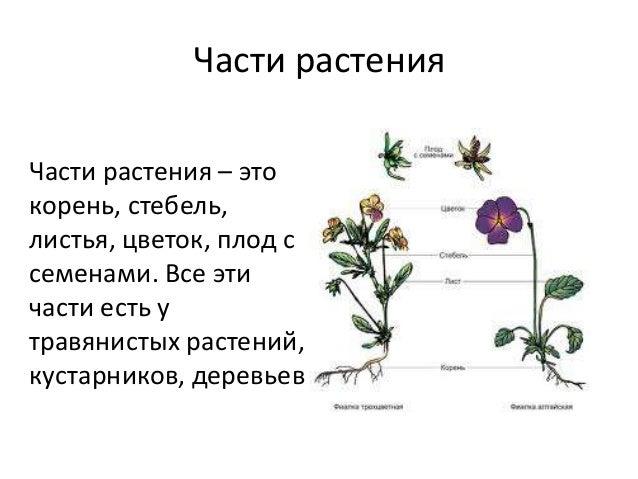Схема частей растения