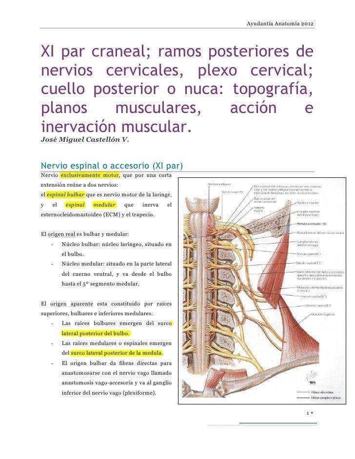 XI par craneal,  ramos posteriores de nervios cervicales, plexo cervical,  cuello posterior  topografía, planos musculares, acción e inervación muscular