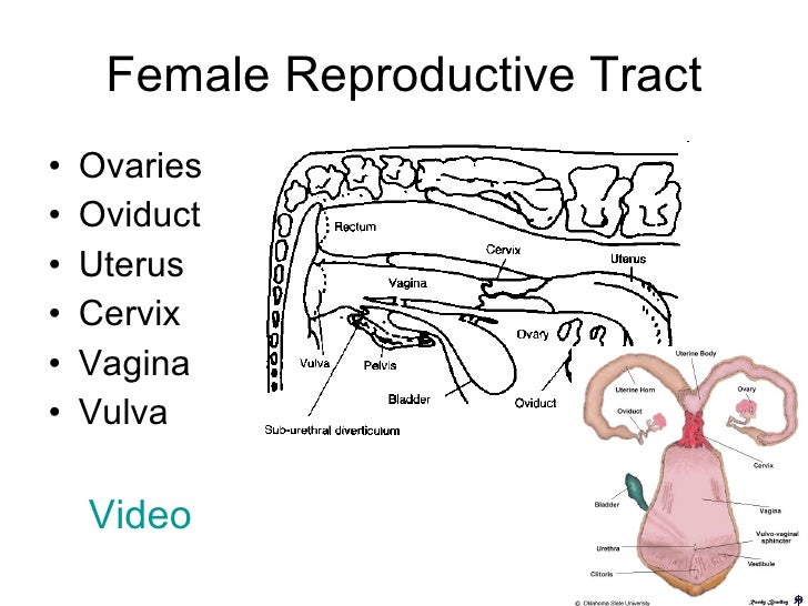 Female cow reproductive system female cow reproductive system photo20 ccuart Images