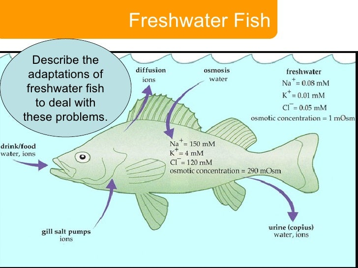 physiological adaption fish The ability of any fish species to overcome such environmental constraints is   and an adaptation to the esterno-hyoid muscle shape, which is related to the.